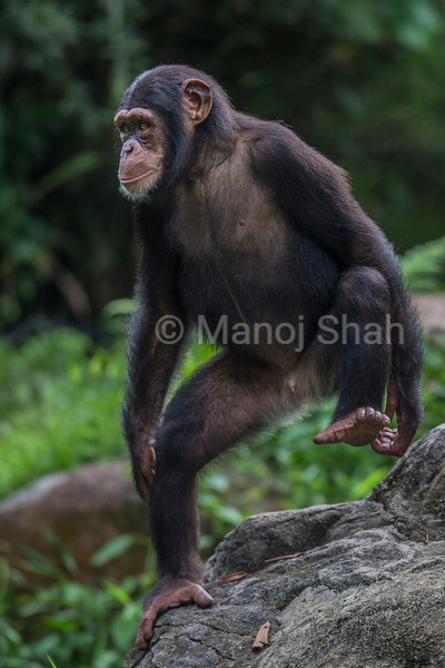Male Chipanzee youngster