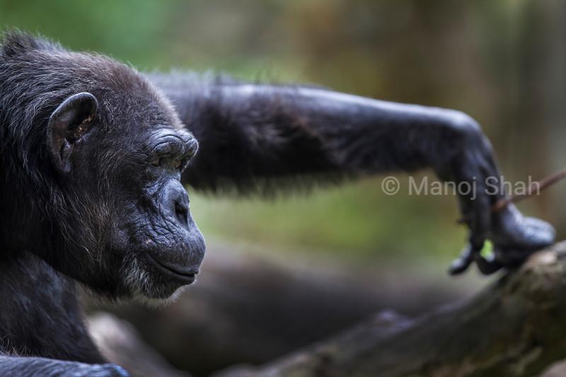 chimpanzee holding twig