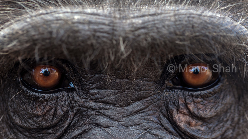 Eyes of an adult chimpanzee at Laikipia