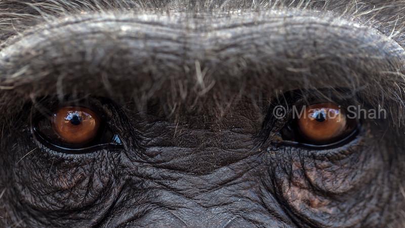 Eyes of an adult chimpanzee at Laikipia