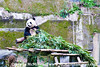Giant Panda in his giant pen lunching on bamboo.