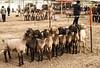 Kashgar - The animal market (8)