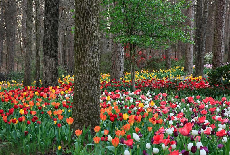 Tulips and Azaleas in Bloom - Garvan Woodland Gardens - Hot Springs, Arkansas - March 9th, 2017