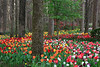 Tulips and Azaleas in Bloom - Garvan Woodland Gardens - Hot Springs, Arkansas - March 9th, 2017
