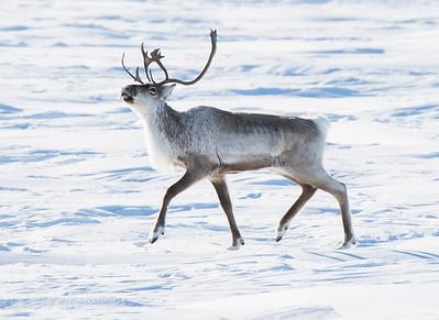 Caribou, Ptarmigan and Arctic Fox