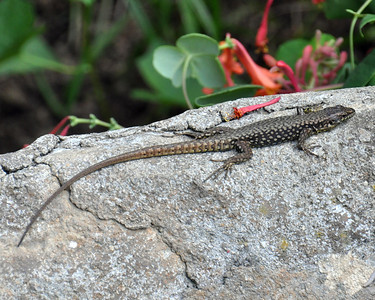CLOSE UP OF NATIVE OHIO LIZARD
