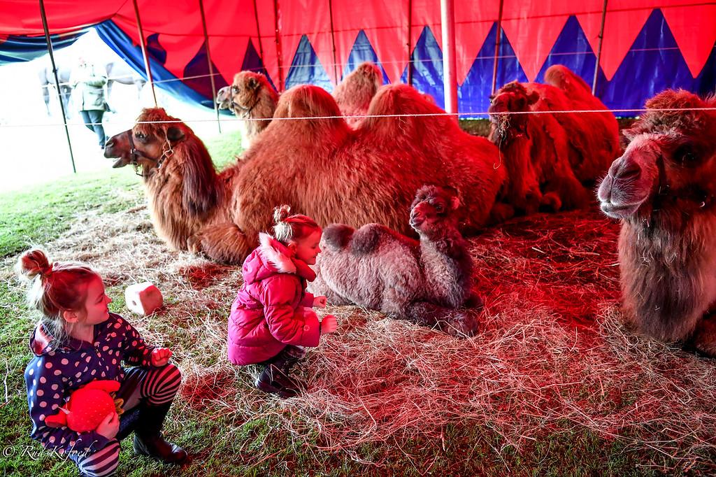 Det nye kamelføl er lige nu hovedattraktionen i stalden og vil tilsyneladende gerne klappes af børnene...