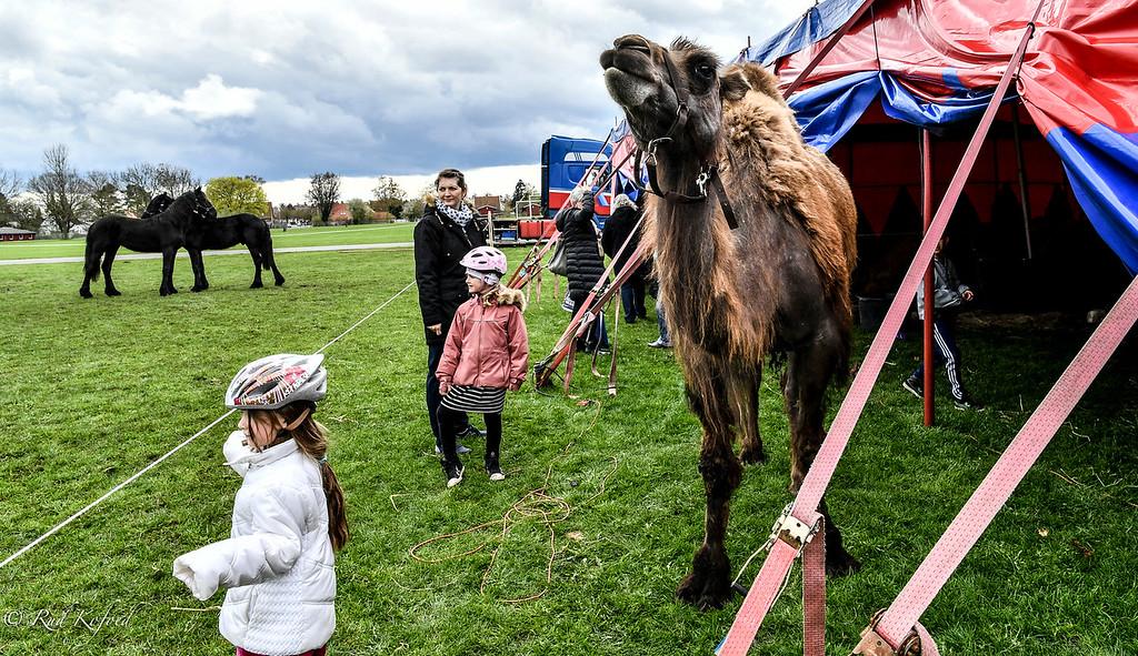 En nybagt kamel-mor hygger sig med de besøgende børn...
