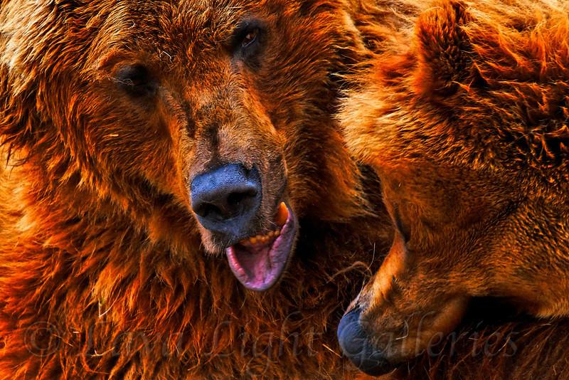 Bears Hugging