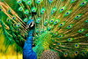 Colorful_Peacock