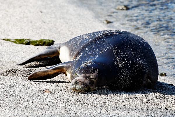Sandy_Seal