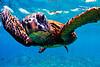 Pachino_Turtle