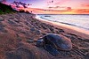 Hawaiian turtles