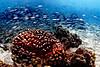 Akule_Coral