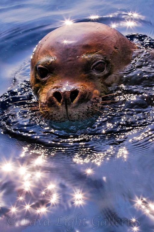 Seal Star