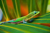 Geckos Hawaii