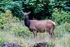 Elk at Ecola Park
