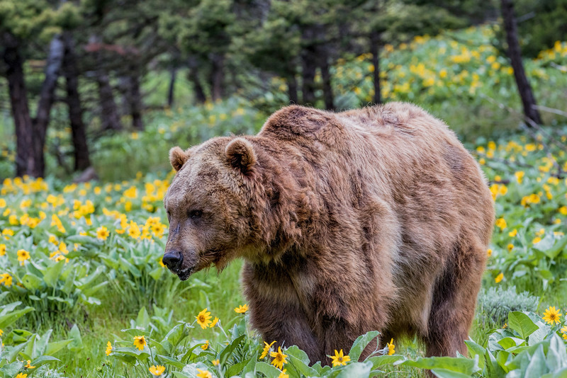 Grizzly in South Yellowstone