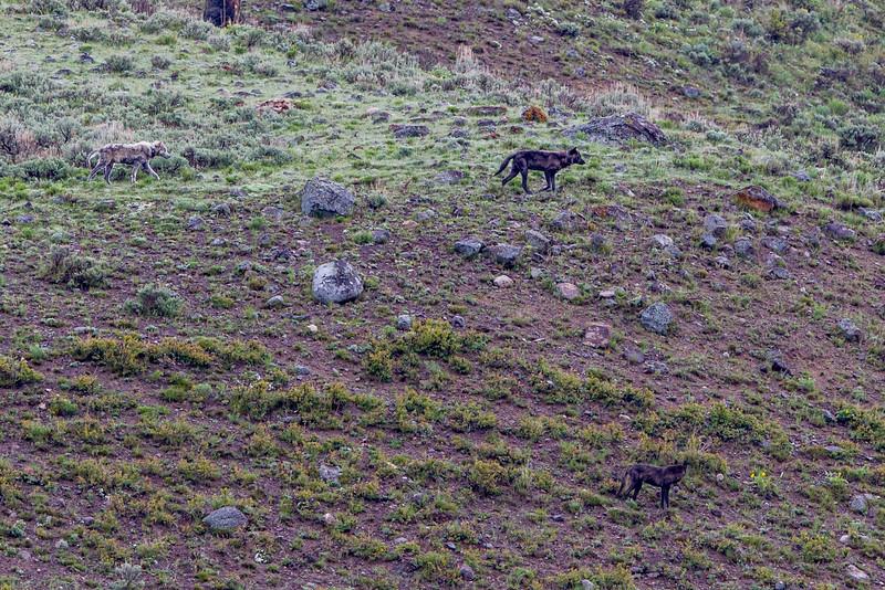 3 Wolves on the hillside