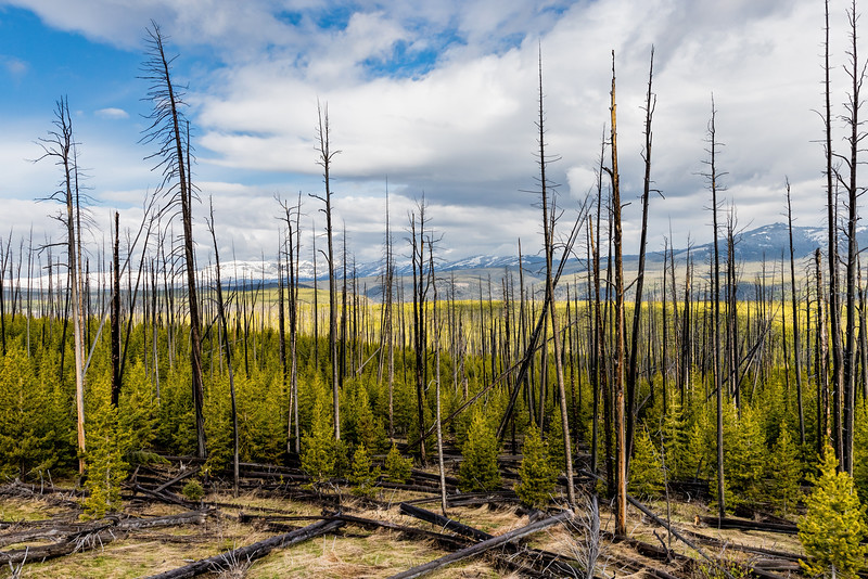 Dunraven Pass area - burnt trees from 88 Fire with new growth