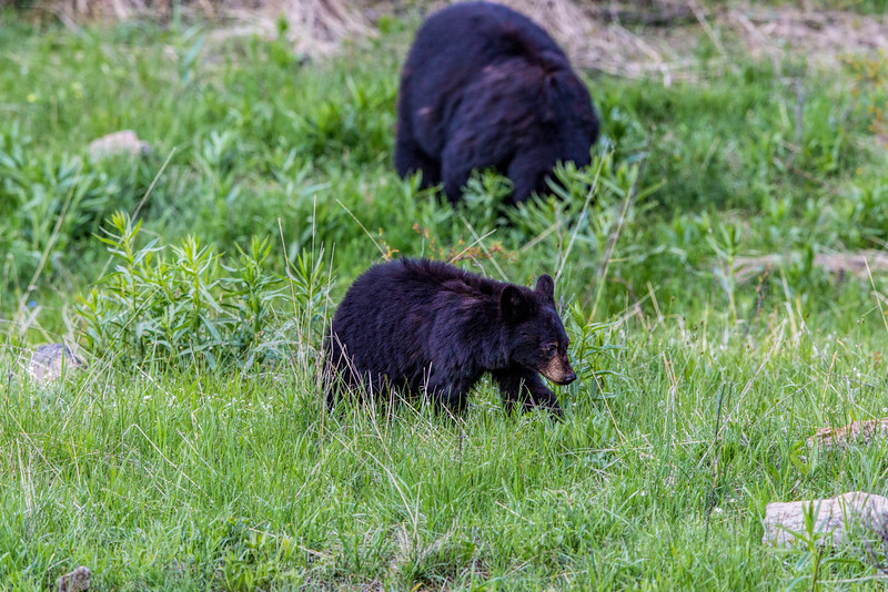Baby Black Bear with Mom in the background