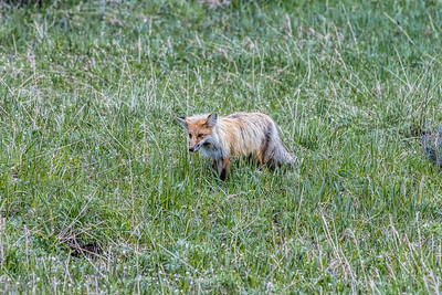 Fox in North Yellowstone