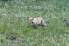 Fox in North Yellowstone