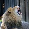 MALE LION ROAR