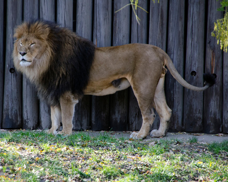 MALE LION STANDING