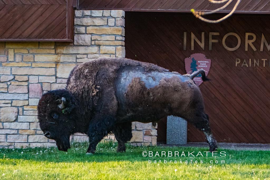 Bison Encounter-3