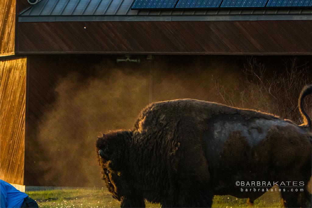 Bison Encounter-7