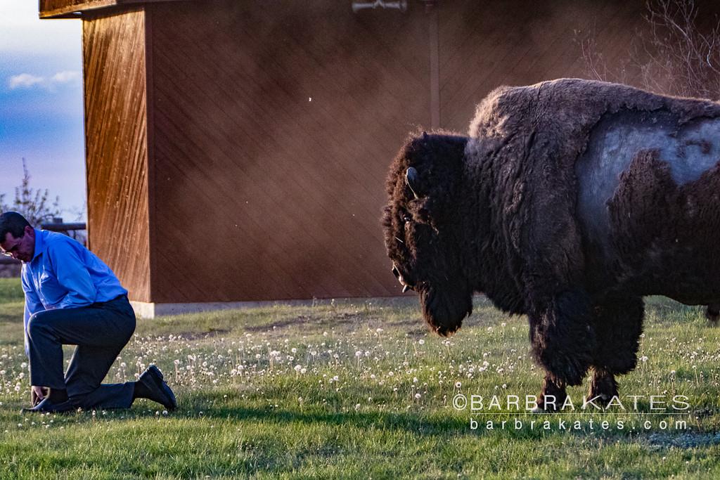 Bison Encounter-9