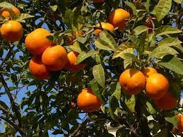 Tangerine murcott 'Honey'