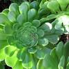 Aeonium 'Mint Saucer'
