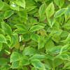 Duranta erecta 'Golden Edge' - foliage
