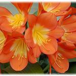 Clivia miniata_flower