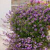 Scaevola Blue Wonder