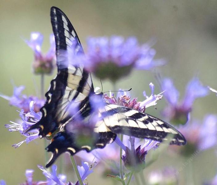 Salvia clevelandii - flower