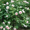 Rosa 'Sharifa Asma'