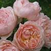 Evelyn (ENGLISH) - flower