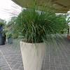 Lomandra longifolia Breeze