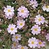 Cistus x skanbergii_FLOWER
