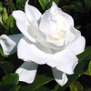 Gardenia jasminoidies 'Veitchii' - flower