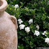 Gardenia jasminoidies 'Veitchii'