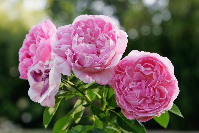 Mary Rose (ENGLISH)
