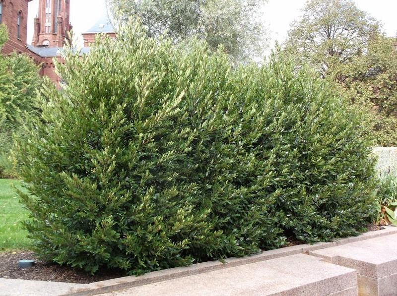 Prunus caroliniana 'Bright 'n Tight'