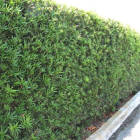 Podocarpus macrophyllus 'Maki'