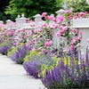 Romantic picket fence planting