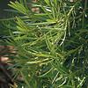 Podocarpus gracillior_foliage
