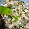 Pyrus kawakamii - flower